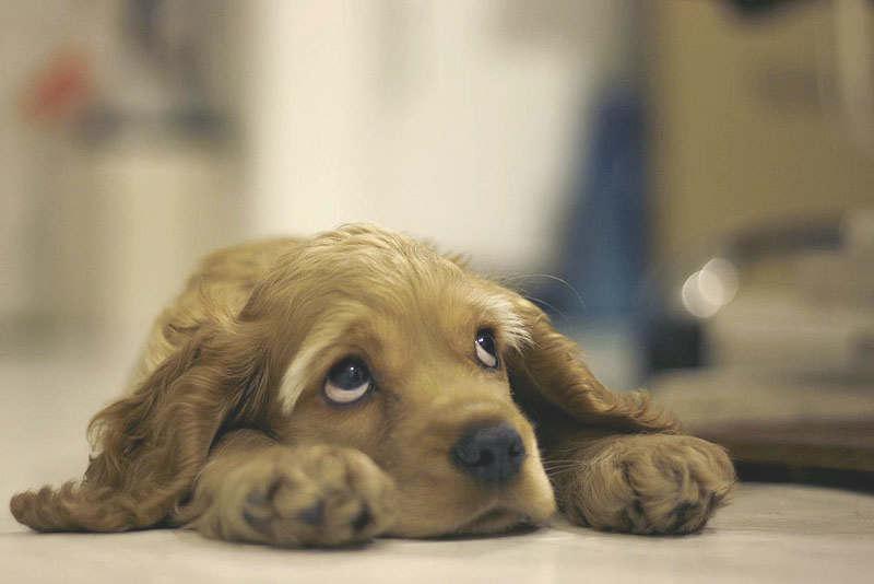 Виноватый щенок
