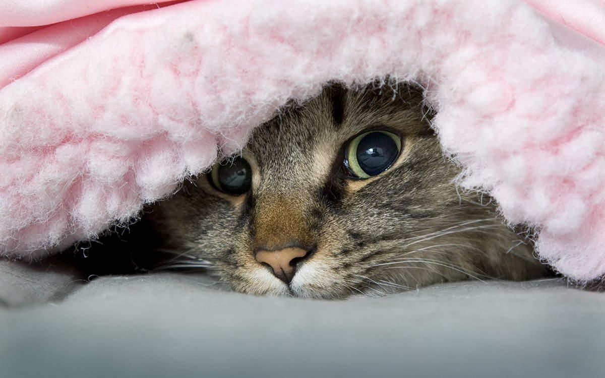 Кошка под ковром