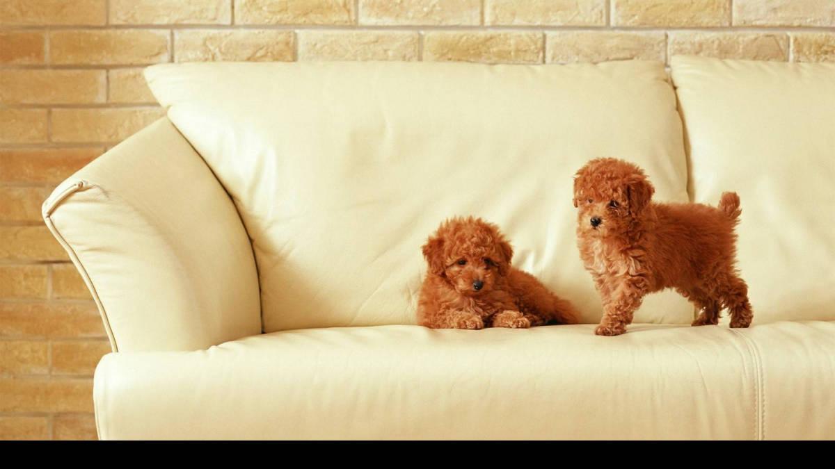 Две собачки на диване